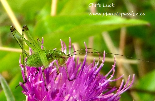 Speckled bush cricket nymph, France