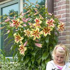 4 Giant Lily (Tree Lily) - Largest size bulbs from any supplier - Save 20%