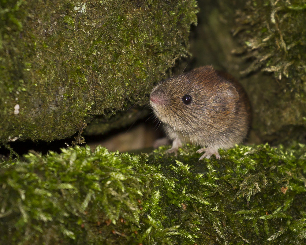 Lovely little Bank Vole living in a Dry Stone Wall near Redmires.