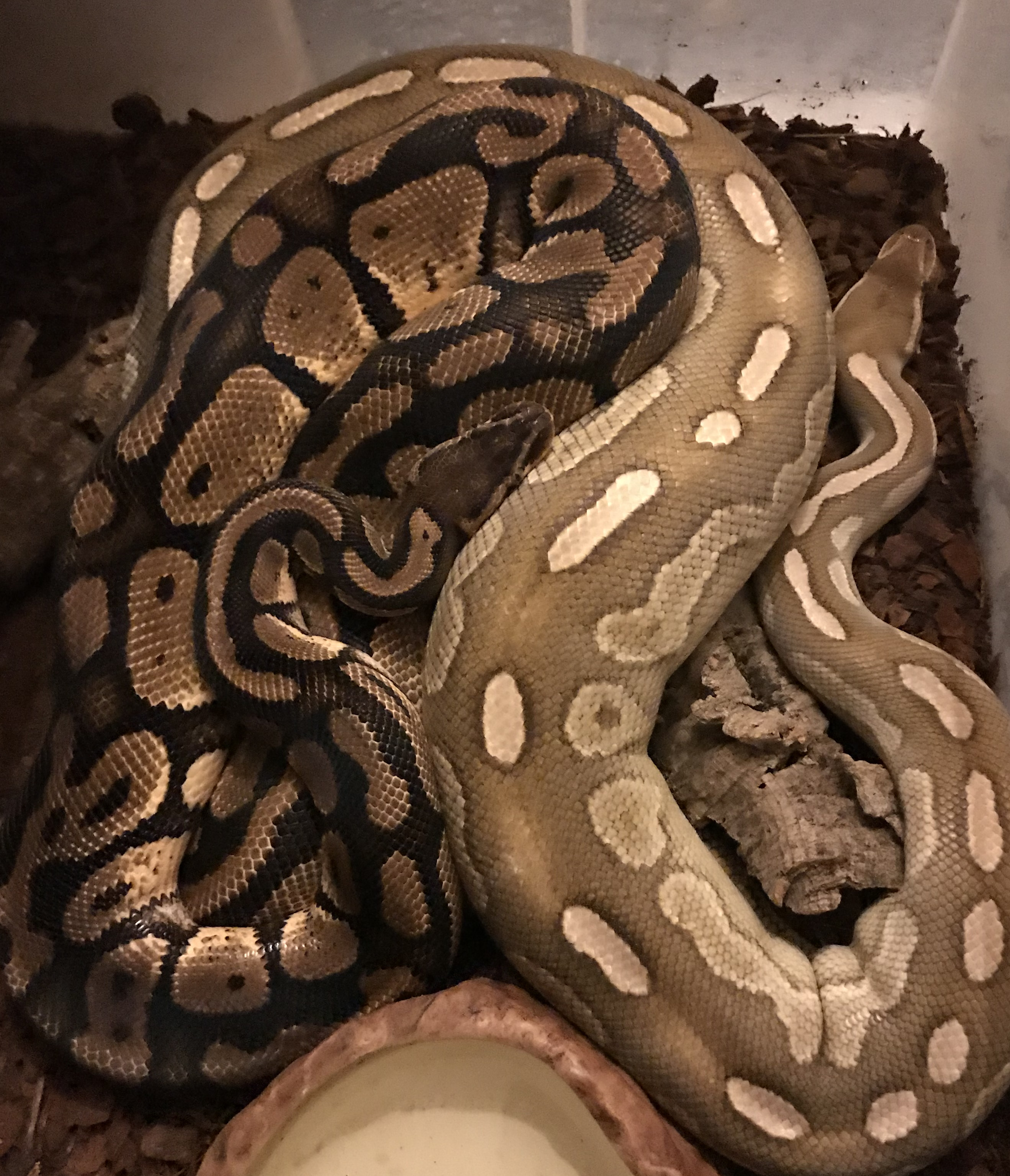 2 Royal Pythons exhibiting breeding behaviour