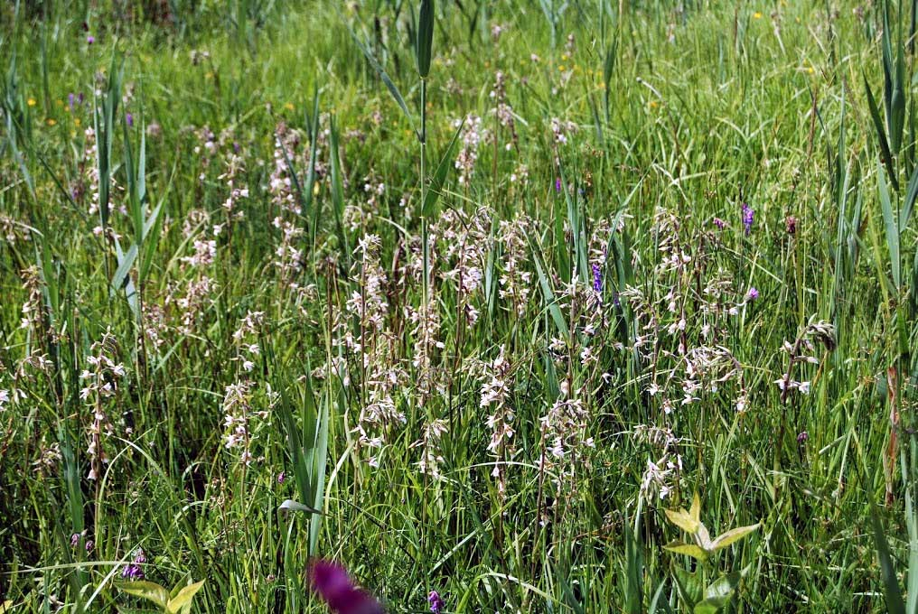 Marsh-Helleborines  (Epipactis-palustris) France