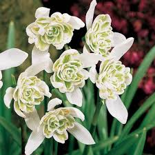 Galanthus Nivalis Double