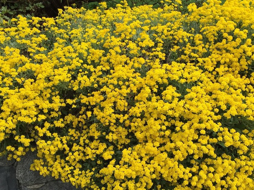 Alyssum Mountain Gold
