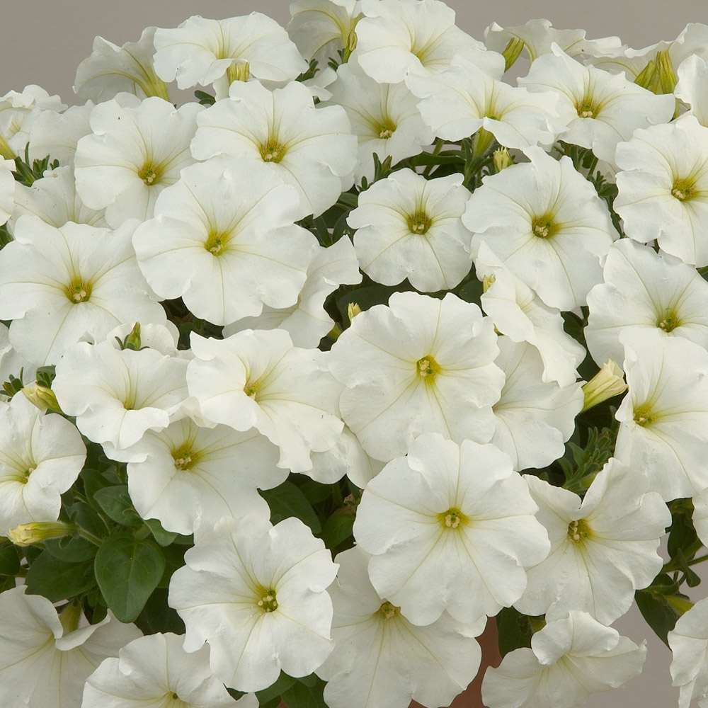 Petunia Surfinia Snow White