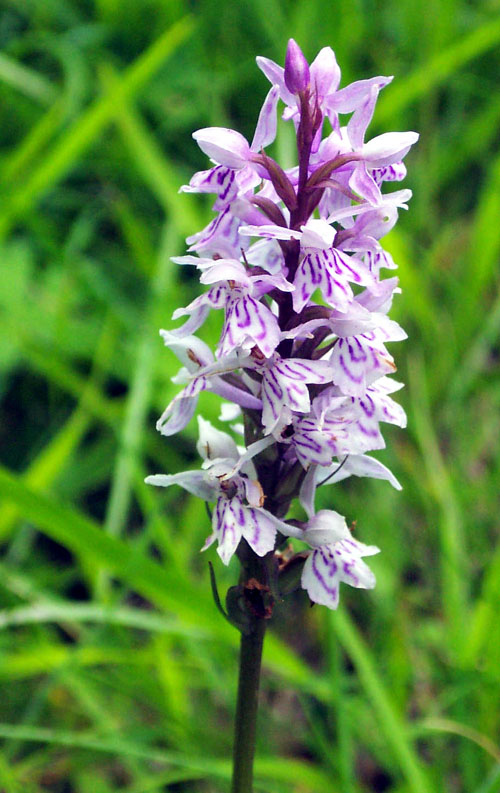 Common spotted orchid  Dactylorhiza fuchsii in France