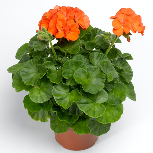Summer; Upright Geranium Orange