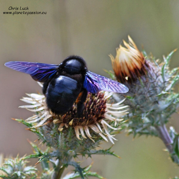Violet carpenter bee France