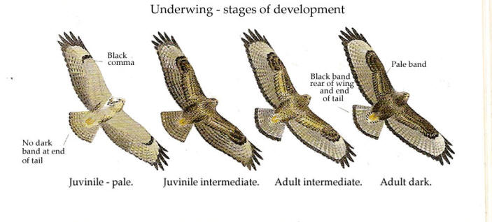 Common-Buzzard-stages-France