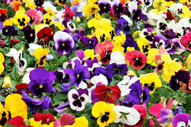 Pansy Summer Select Mix