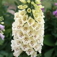 Digitalis Camelot Cream