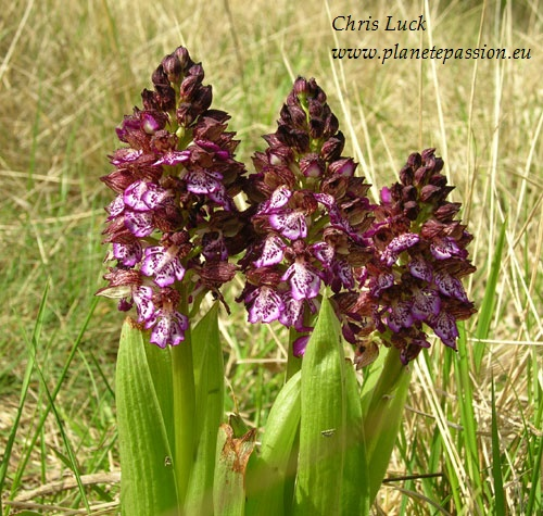 Lady Orchid  Orchis purpurea in France