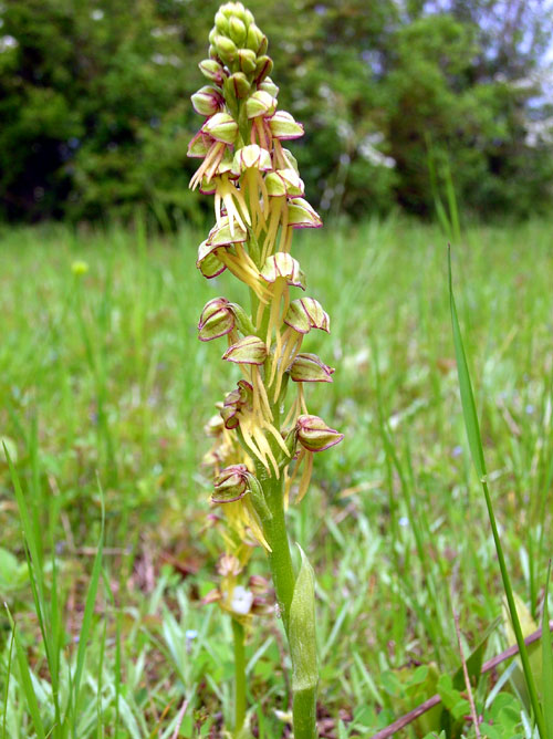 Man Orchid  Aceras-anthropophorum in France