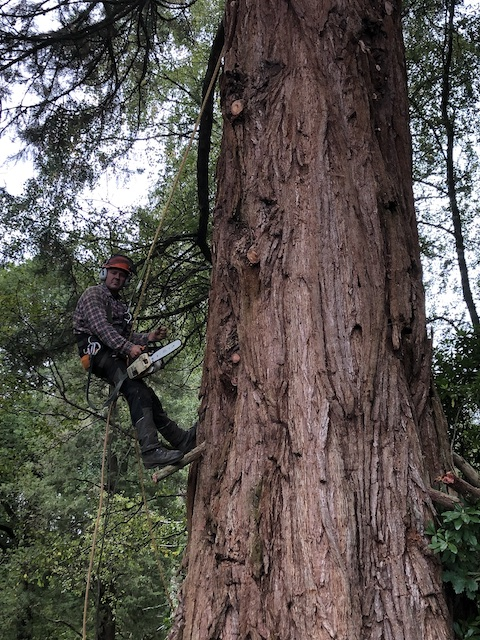 Julian Schad removing the deadwood from a sequoia