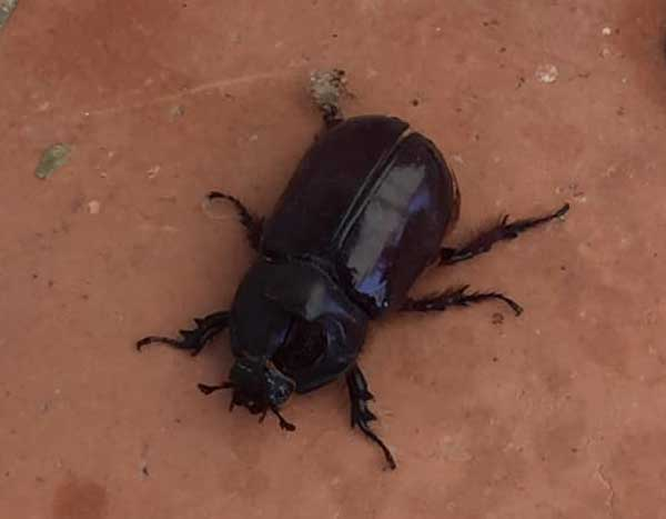 Male rhinoceros beetle France