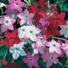 Nicotiana Avalon Mix