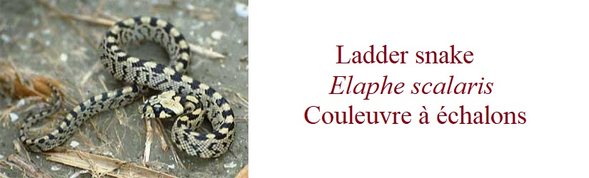 Ladder snake, Elaphe scalaris, Couleuvre à échalons in France