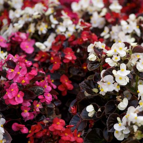 Begonia Semperflorens dark Leaf Mix