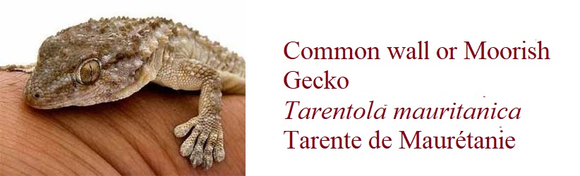 Common wall or Moorish Gecko, Tarentola mauritanica, Tarente de Maurétanie, in France