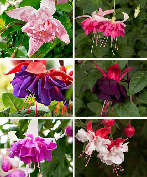 12 Giant Fuchsia Mixed  - named varieties