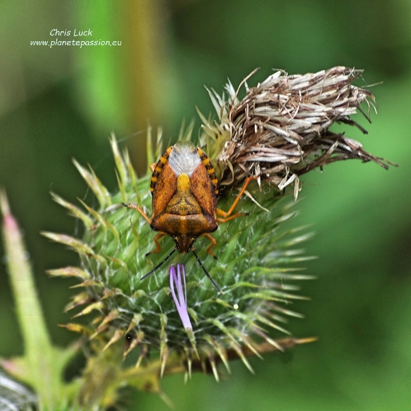 Carpocoris purpureipennis on Spear thistle - France