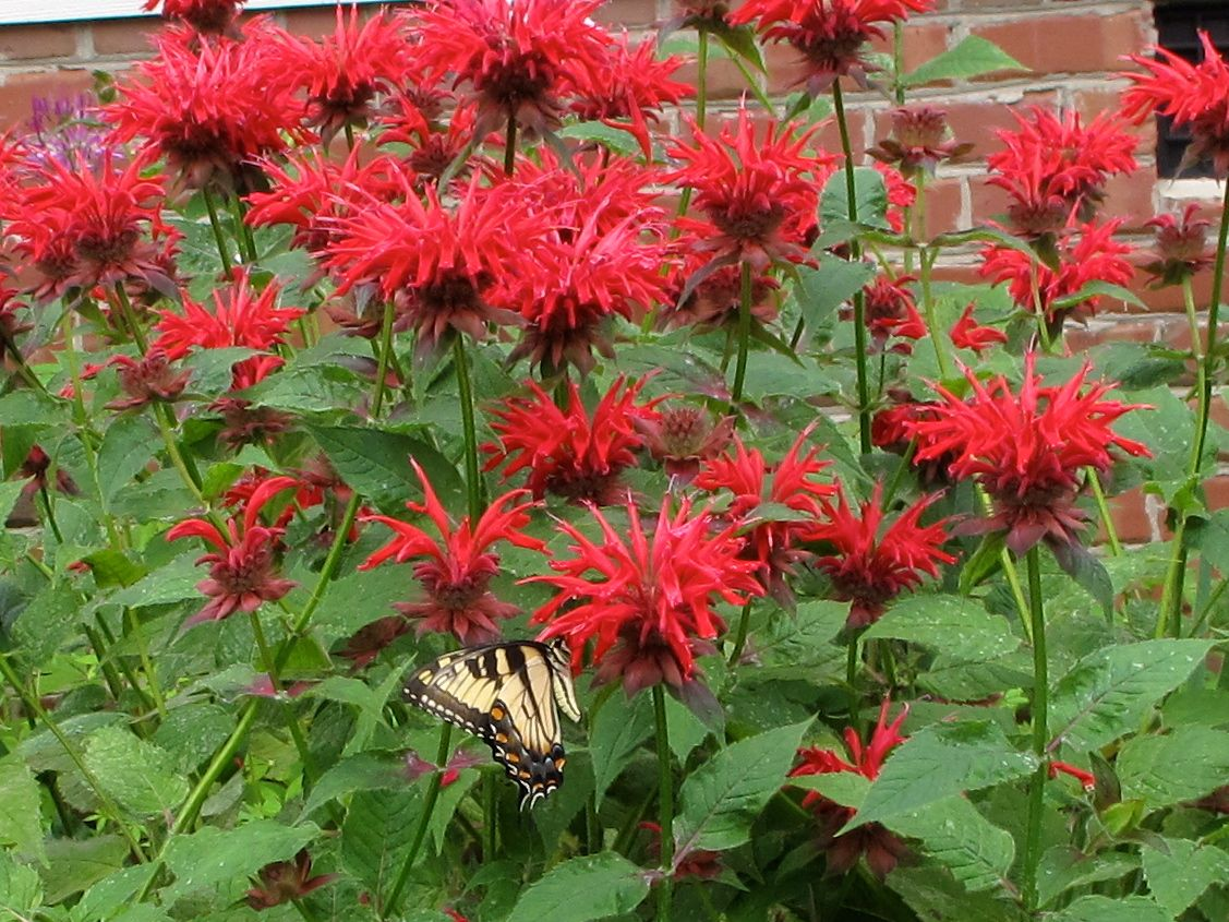 Monarda Red Colors
