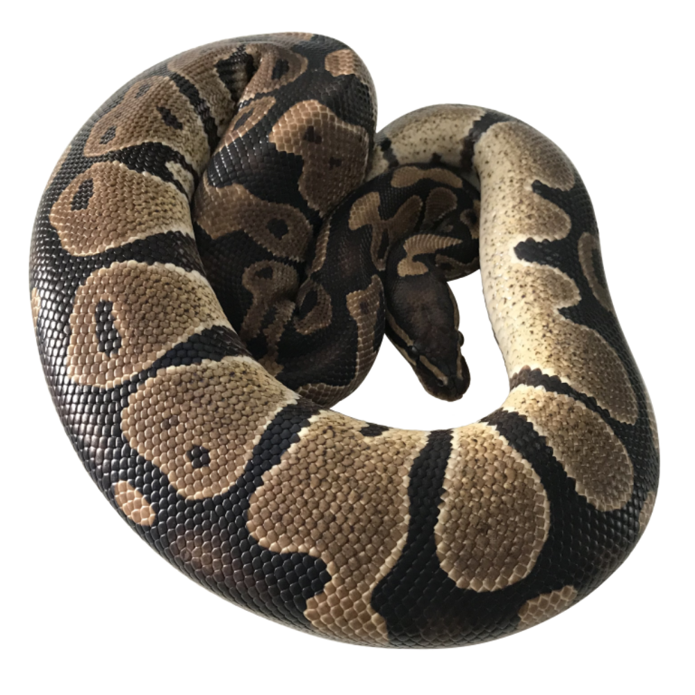 Normal Royal Python (Wild Type)