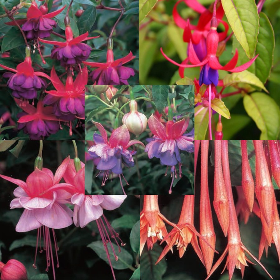20 Bush Fuchsia Plug Plants