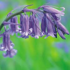 Hyacinthoides non-scripta (UK Cultivated)