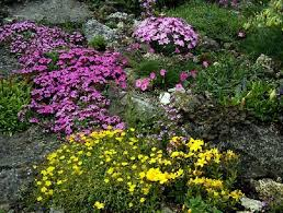 20 Mixed Hardy Alpines - Superb Value for money!