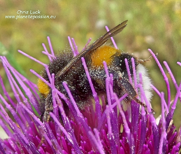Buff-tailed-bumble-bee on Spear thistle France