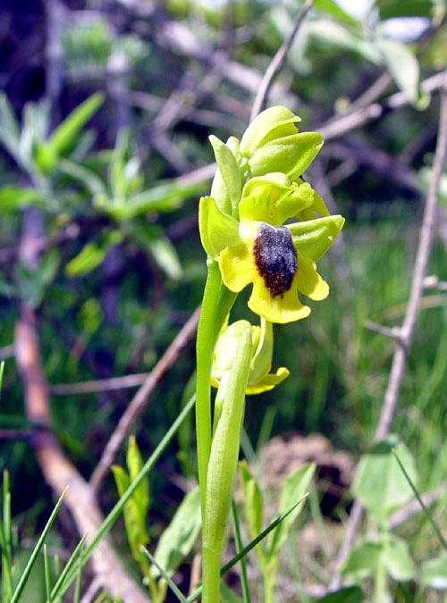 Yellow Ophrys  Ophrys lutea in France