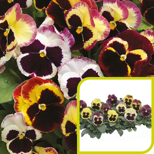 Pansy; Rose Surprise