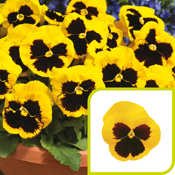 Pansy; Gold with Blotch