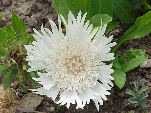 Stokesia White Star