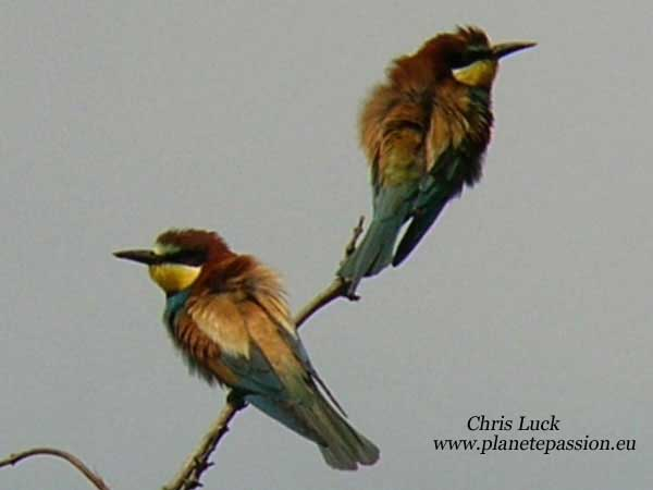 Bee-eaters-in-France