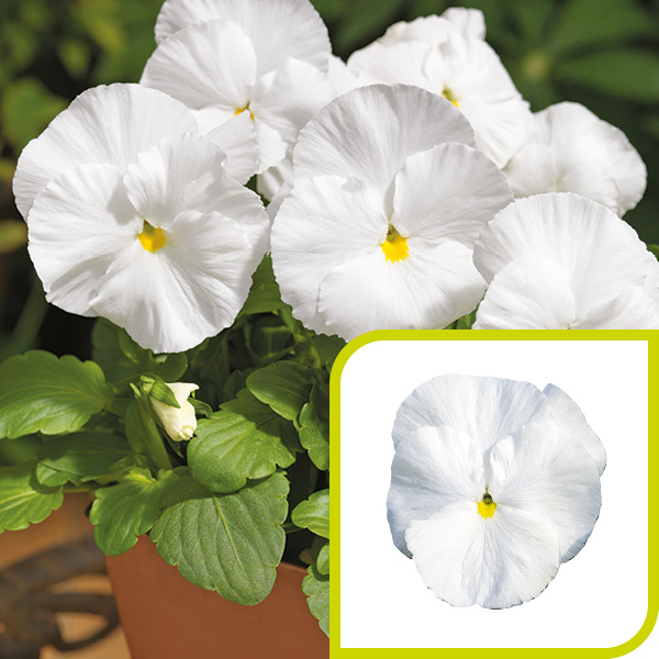 Pansy; Pure White