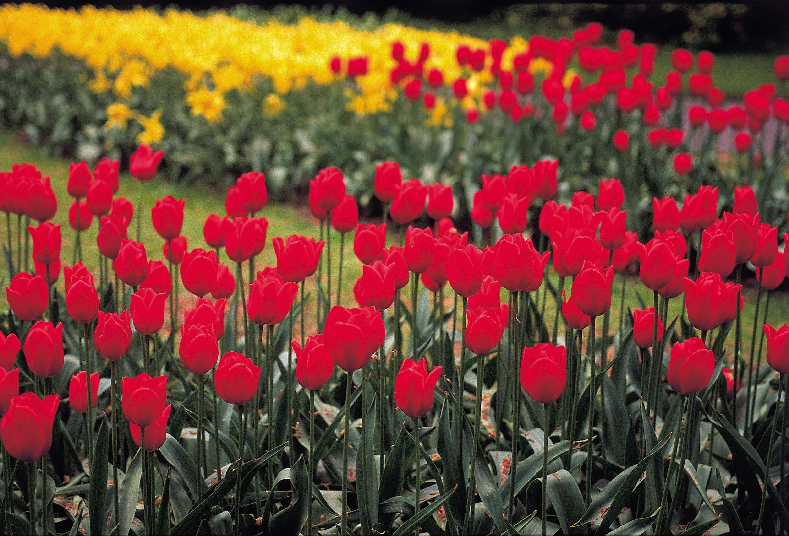 Flower beds containing a mix of red and yellow tulips around a grass lawn.