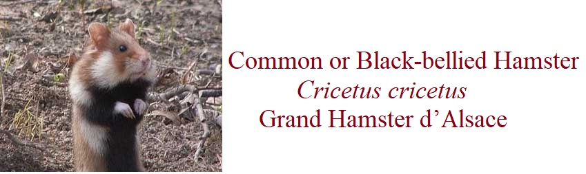 Common or Black-bellied Hamster Cricetus cricetus Grand Hamster d'Alsace in France