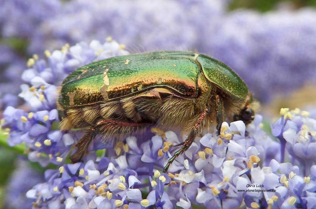 Cetonia aurata Rise chafer in France