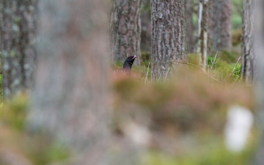 NF-Capercaillie---6th-October-2016jpg