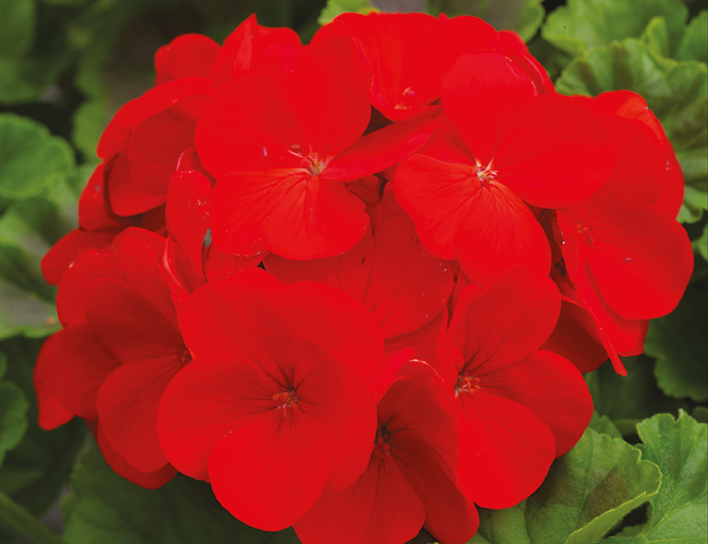 Summer; Upright Geranium Red