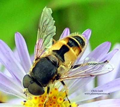 Eristalis arbustorum France