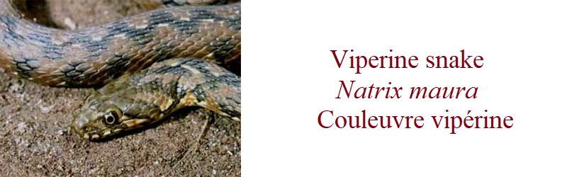 Viperine snake, Natrix maura, Couleuvre vipérine, in France