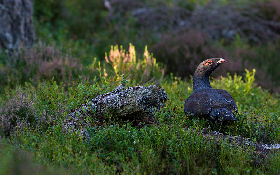 NF-Capercaillie-3---6th-October-2016jpg