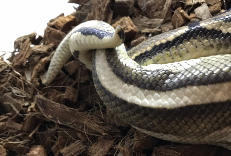 2 Royal Python tails entwined whilst copulating