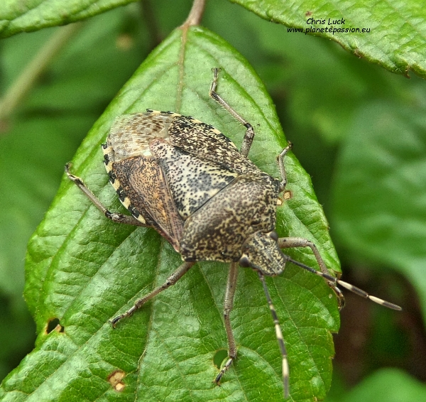 Mottled Shield Bug, Rhaphigaster nebulosa, France