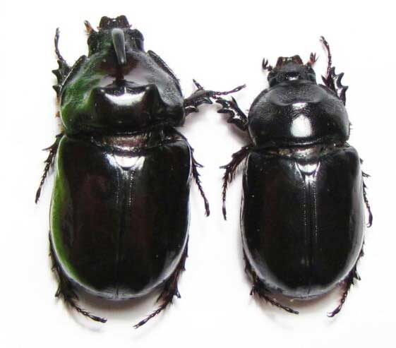 Male and Female Rhinoceros beetles