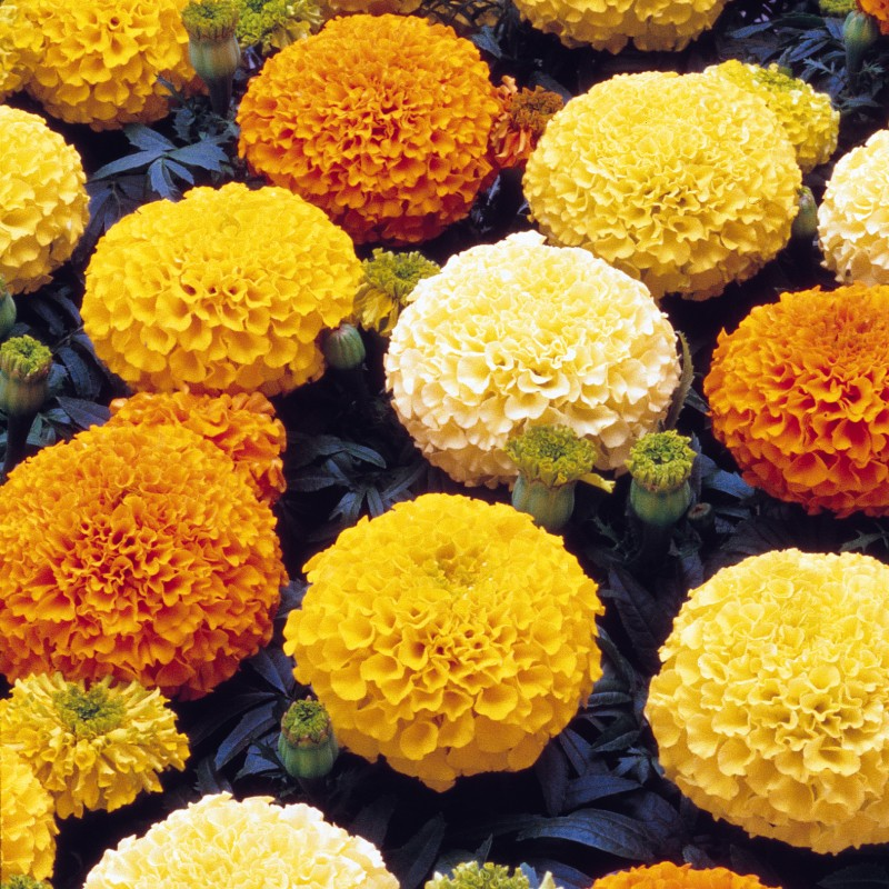 Marigold African Antigua Mixed