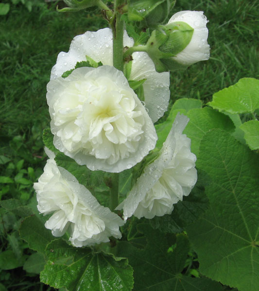 Alcea Chaters White