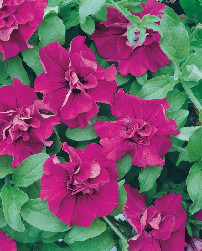 Petunia Surfinia Double Purple
